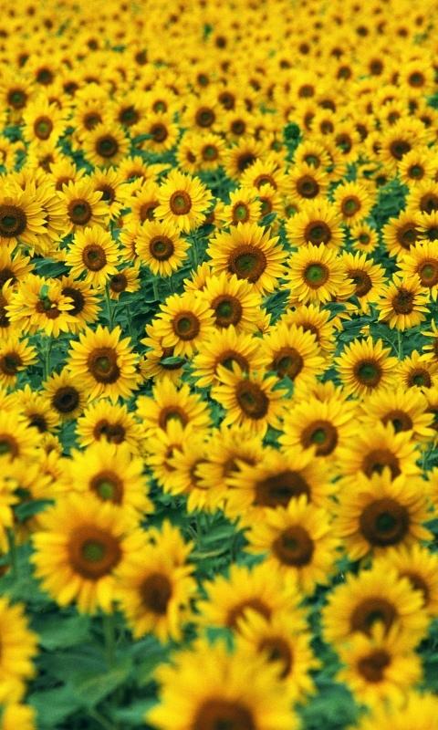Sunflower II Windows Phone Wallpaper
