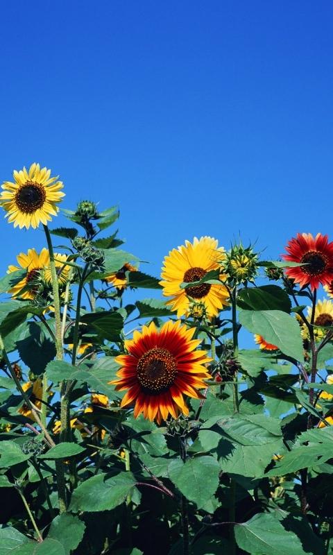Sunflower Windows Phone Wallpaper