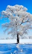 Snow Tree III