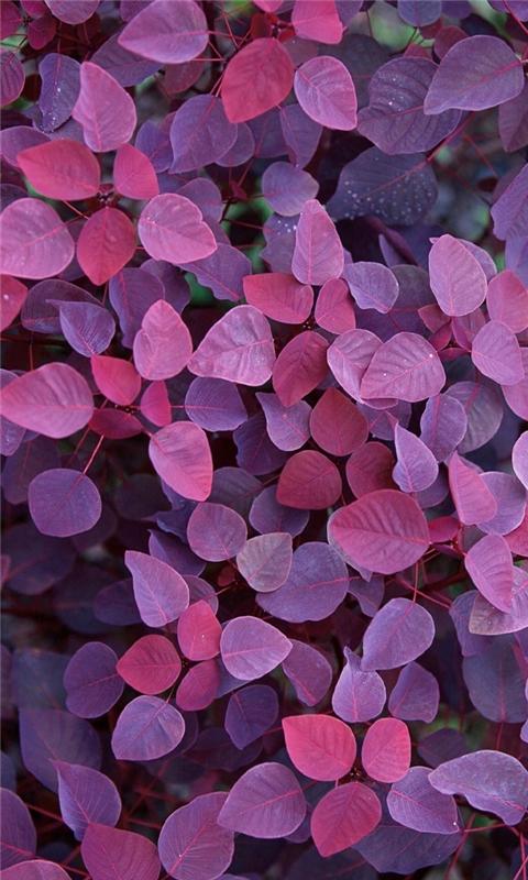 Violet Leafs Windows Phone Wallpaper