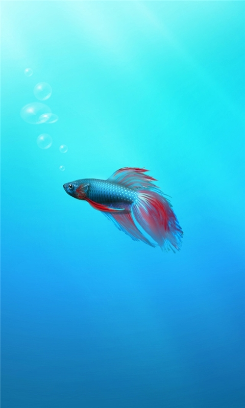 Betta Fish Windows Phone Wallpaper