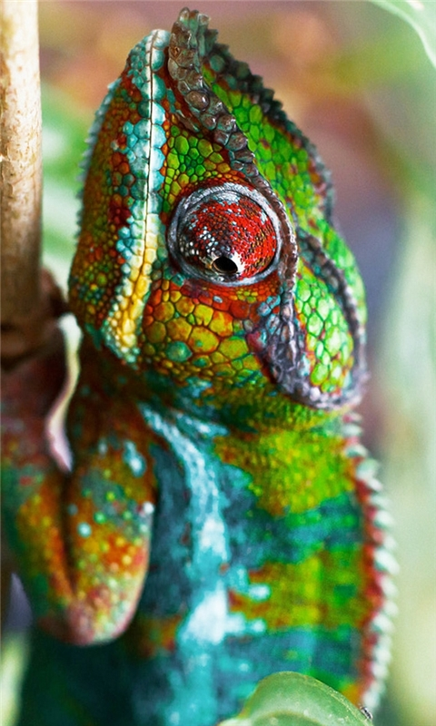 Chameleon Windows Phone Wallpaper