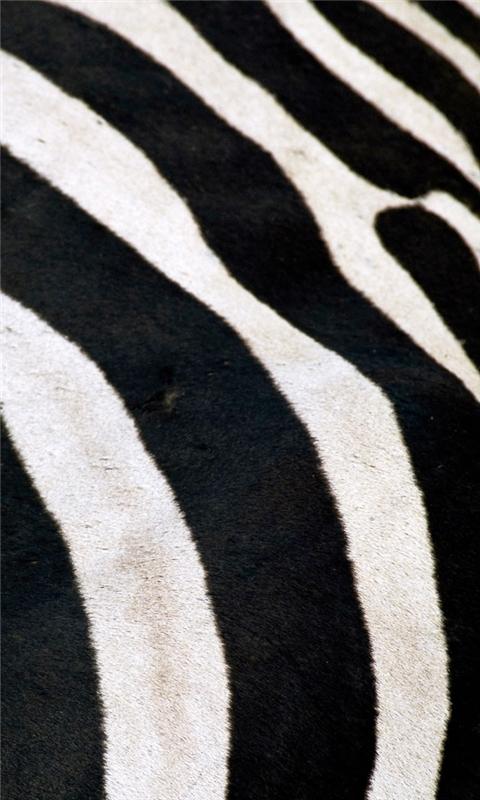 Zebra Windows Phone Wallpaper