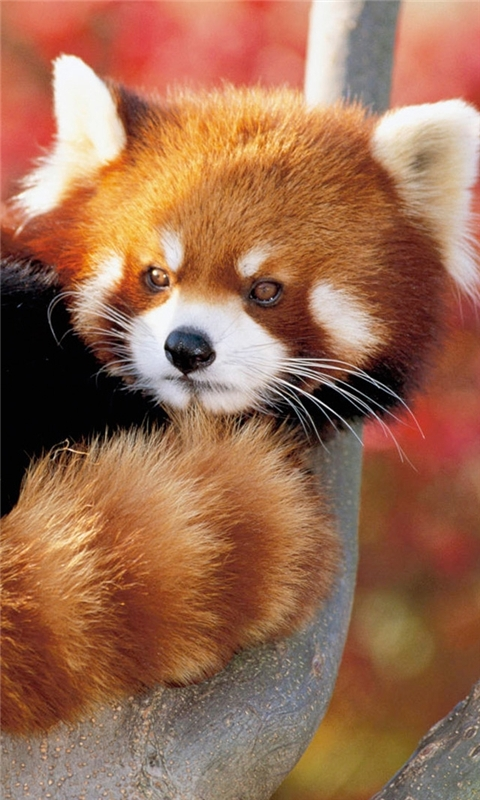 Red Panda Windows Phone Wallpaper