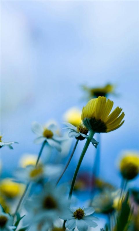 Fresh daisies Windows Phone Wallpaper