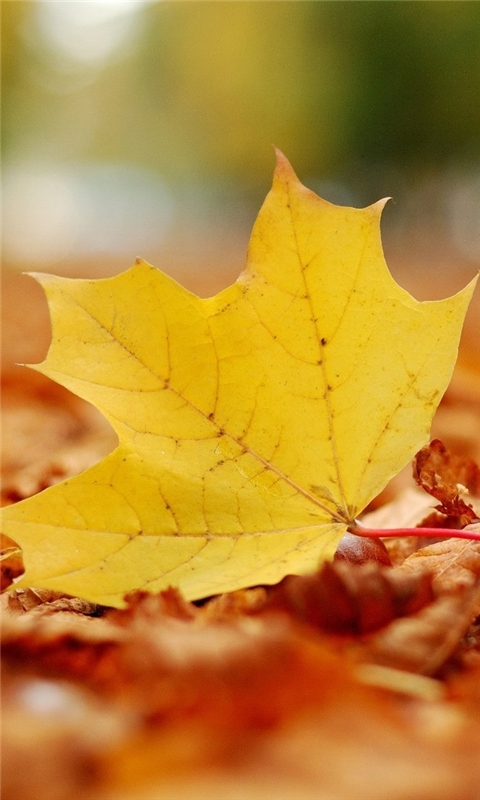 Single Yellow Leaf Windows Phone Wallpaper