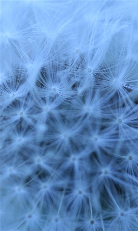 Fluffy Head Blue Windows Phone Wallpaper