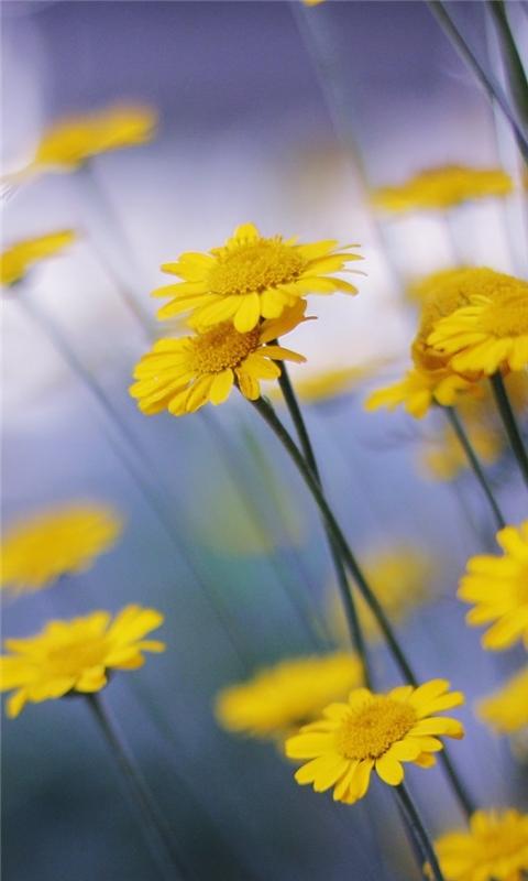 Camomille Flowers Windows Phone Wallpaper