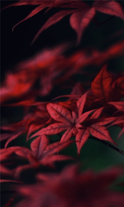 Red Leaves Windows Phone Wallpaper