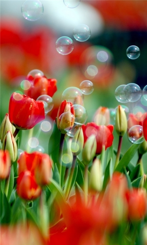 Tulips And Bubbles Windows Phone Wallpaper