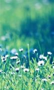 Daisies Field 2