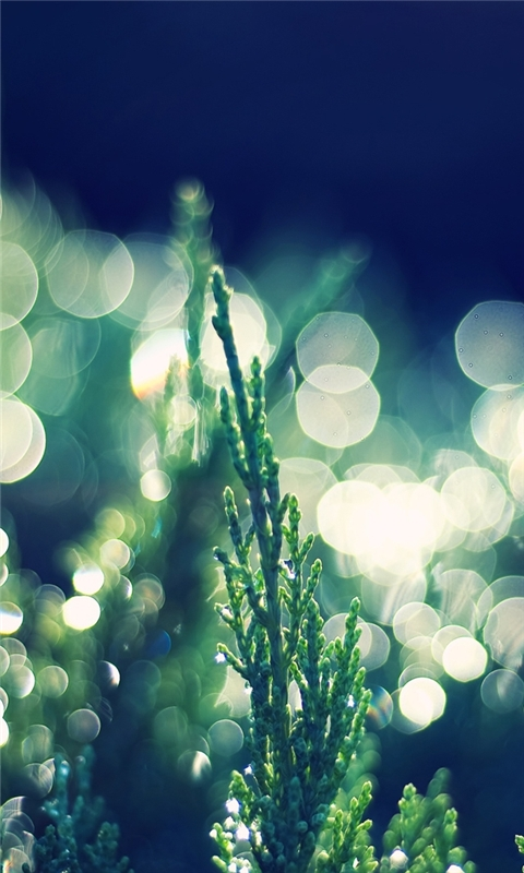 Thuja Occidentalis bokeh Windows Phone Wallpaper