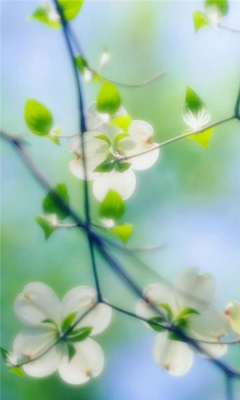 White Dogwood Blossoms Windows Phone Wallpaper