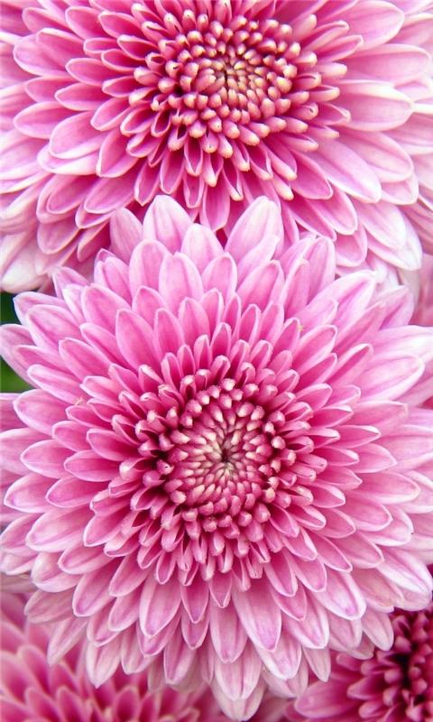 Chrysanthemum Flowers Windows Phone Wallpaper