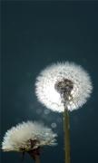 Dandelions Close-up