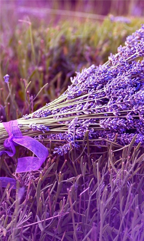 Lavender Windows Phone Wallpaper