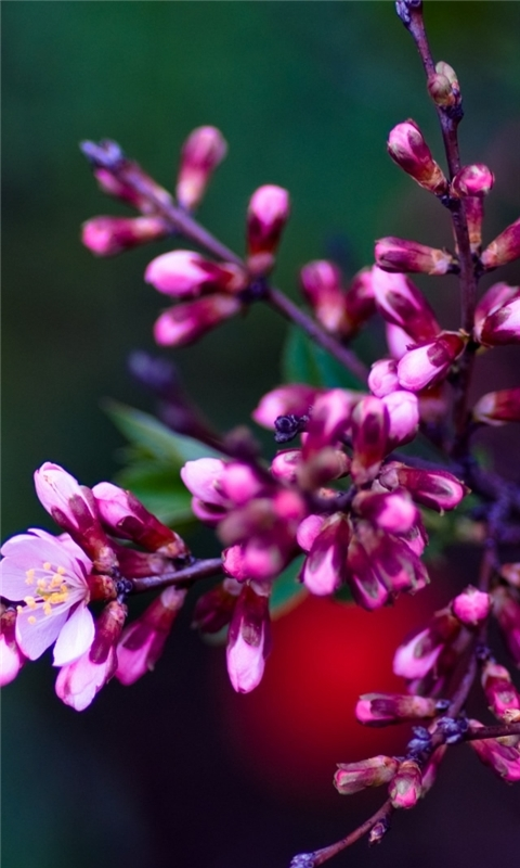 Pink Buds 2 Windows Phone Wallpaper