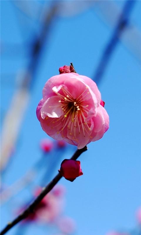 Plum flower Windows Phone Wallpaper