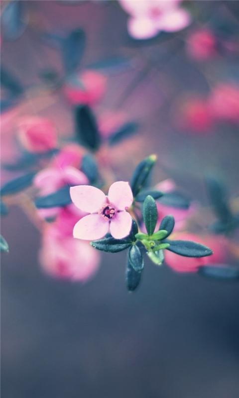 Four Petals Flower Windows Phone Wallpaper