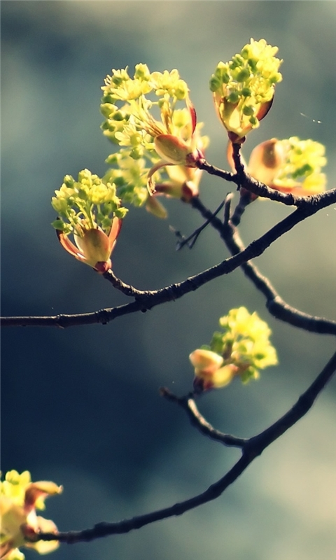Blossom Twig 2 Windows Phone Wallpaper