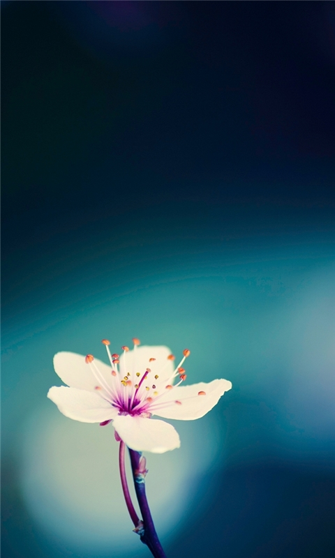 Peach blossom Windows Phone Wallpaper