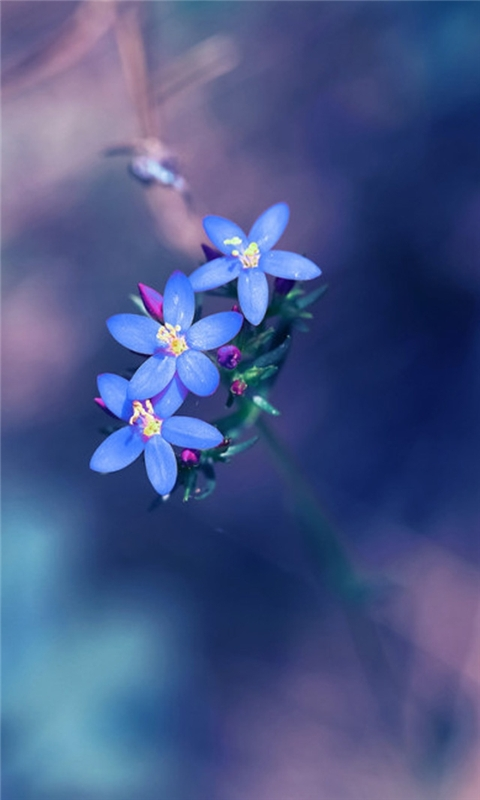 Small fresh blue flowers Windows Phone Wallpaper