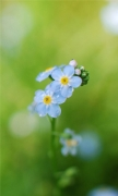 Forget me flowers 2