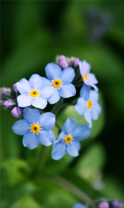 Forget Me Not Flower Windows Phone Wallpaper