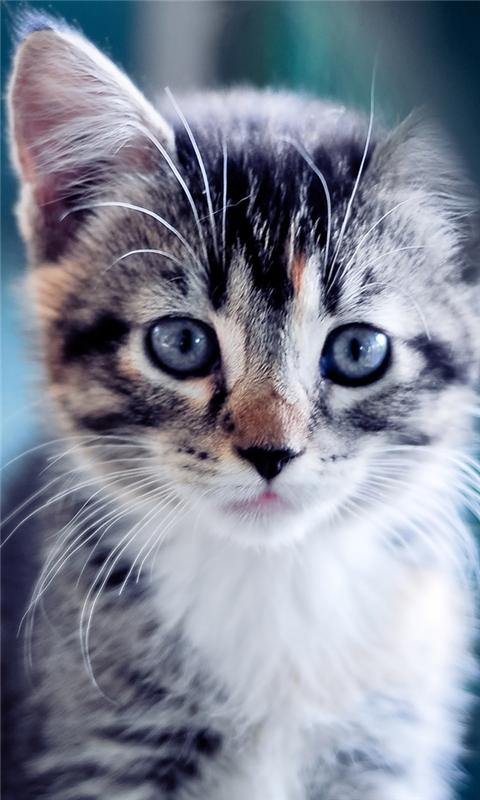 Cute Kitten Windows Phone Wallpaper