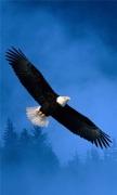 Flight Of Freedom Bald Eagle