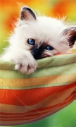 Kitten In A Hammock