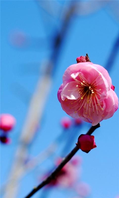 Pink Flower Windows Phone Wallpaper