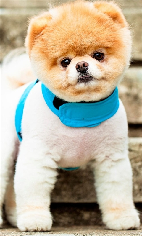 Pomeranian Puppy Windows Phone Wallpaper