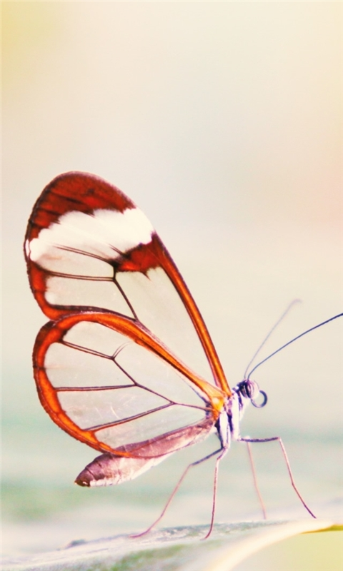 Transparent Wings Butterfly Windows Phone Wallpaper