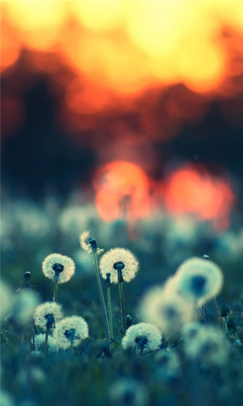 Dandelions at Sunset Windows Phone Wallpaper