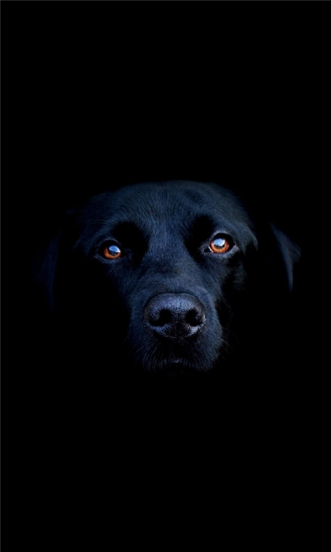 Black Dog Windows Phone Wallpaper