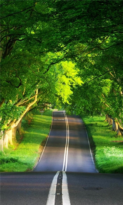 A canopy of trees covering the road Windows Phone Wallpaper
