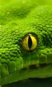 Green Emerald Boa Snake