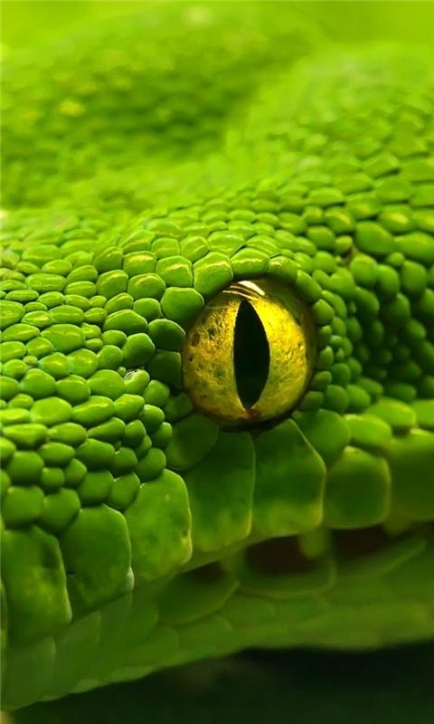 Green Emerald Boa Snake Windows Phone Wallpaper