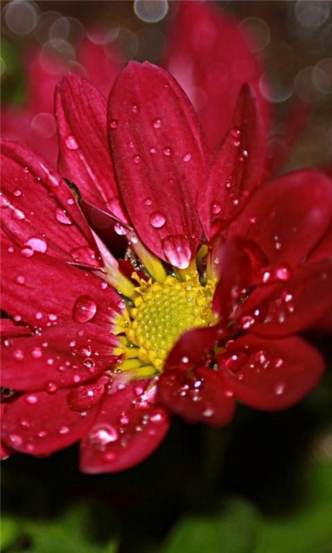 Flower Drops Windows Phone Wallpaper