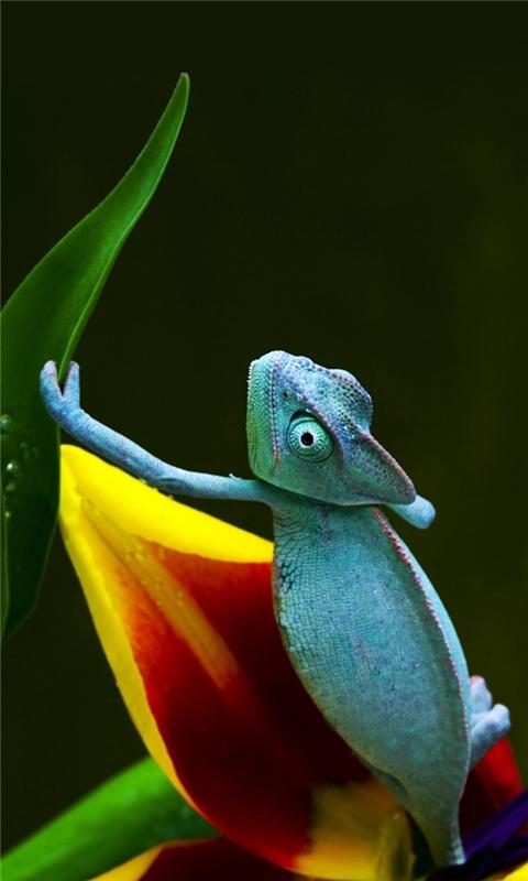 Blue Chameleon Windows Phone Wallpaper