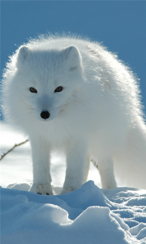 White Fox Windows Phone Wallpaper