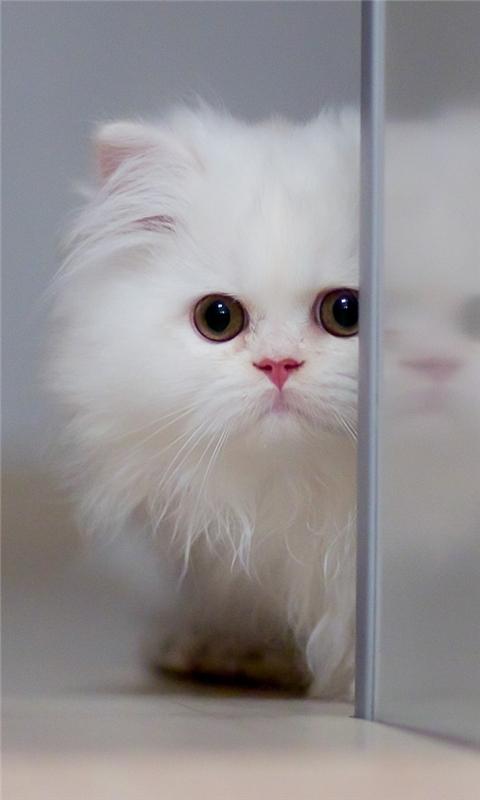 Cute White Cat Windows Phone Wallpaper
