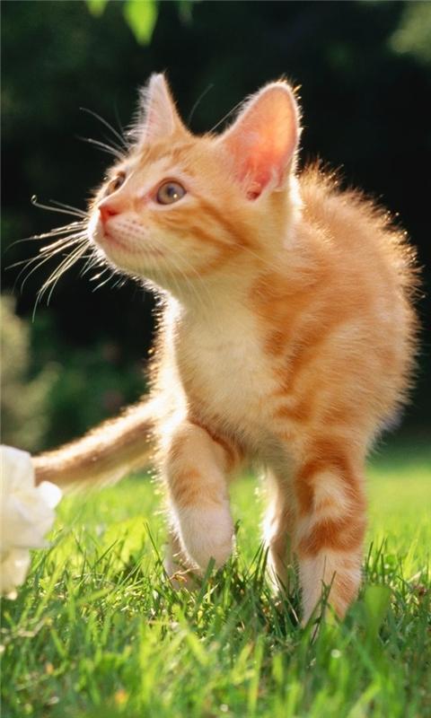 Orange Tabby Kitten Windows Phone Wallpaper
