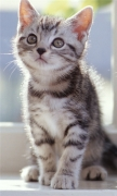 Tabby Kittens