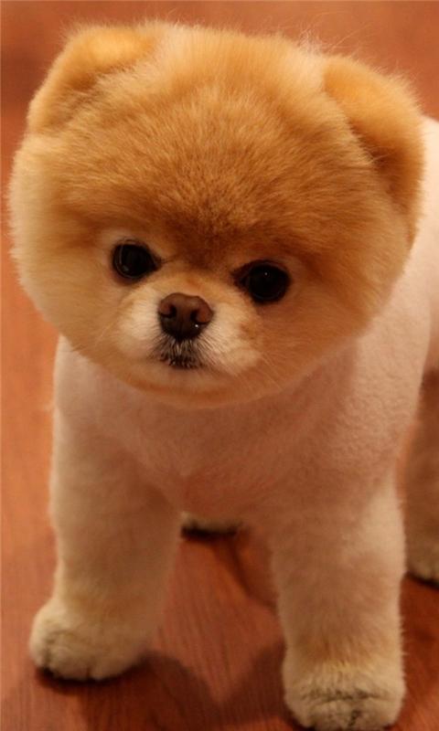Cute Pomeranian Dog Windows Phone Wallpaper
