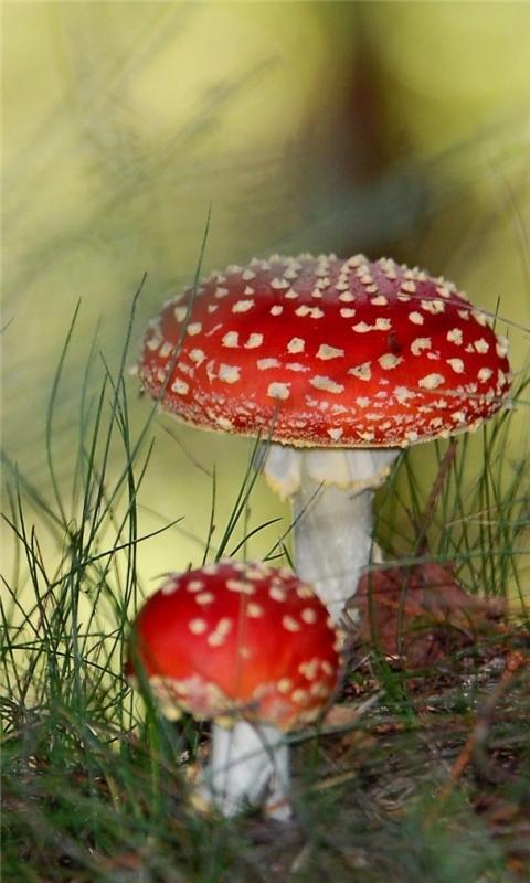 Two red mushrooms Windows Phone Wallpaper