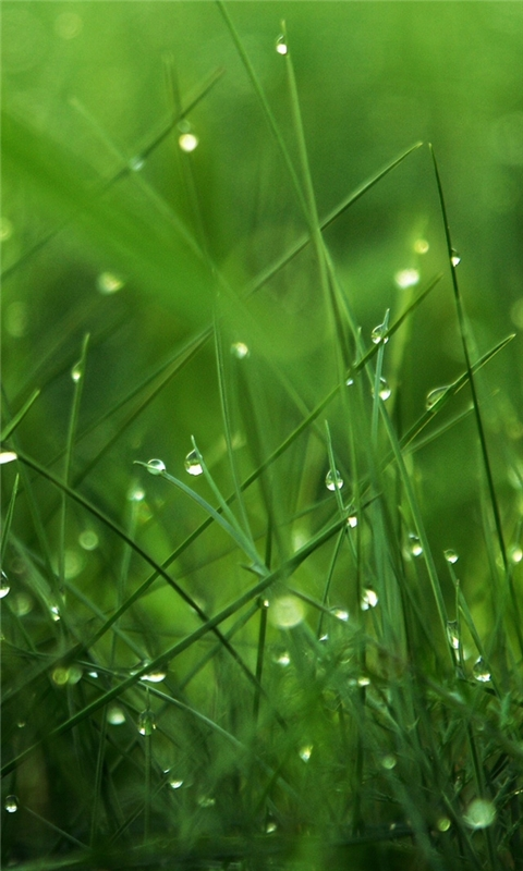Dew on Grass Windows Phone Wallpaper