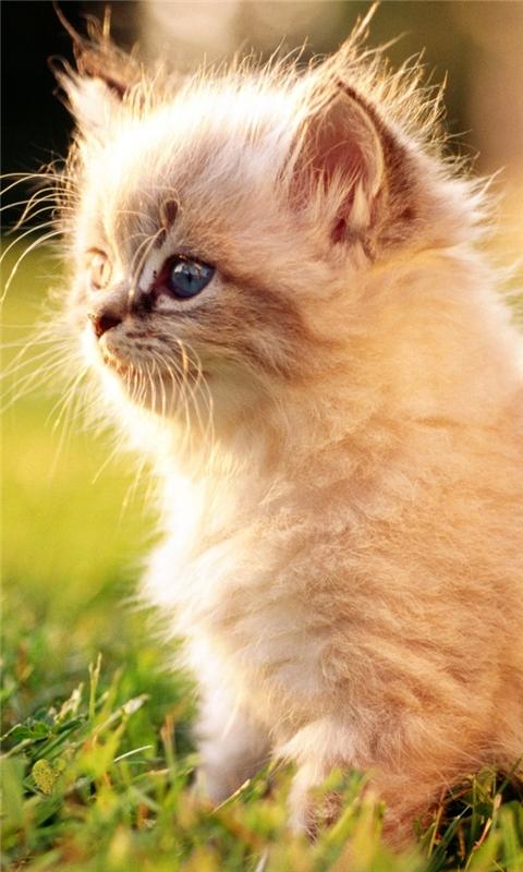 White Persian Kitten Outdoors Windows Phone Wallpaper