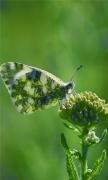 Armenia Butterfly